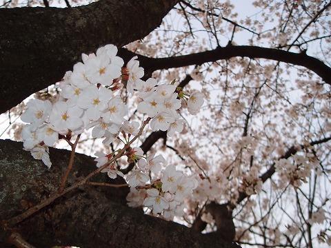 桜の季節。